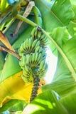 Bananes crues avec un élevage de groupe Image stock