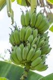 Bananes crues sur l'arbre images libres de droits