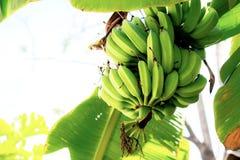 Bananes crues sur l'arbre avec la lumière du soleil Photographie stock libre de droits