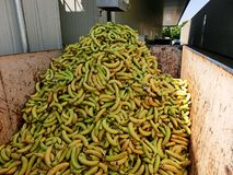 Bananes dans la poubelle Photos libres de droits