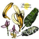 Bananes de dessin de main Fleurs, fruit et feuilles dessus Photos stock