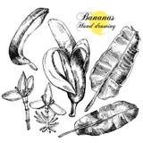 Bananes de dessin de main Fleurs, fruit et feuilles dessus Photos libres de droits