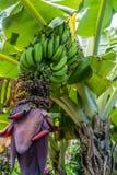 Bananes 2 de Maui Image libre de droits