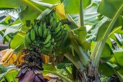 Bananes de Maui Image libre de droits