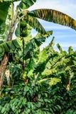 Bananes et horticulture de banane sur des buissons de café d'ombrage de bananier, Guatemala, Amérique Centrale images libres de droits
