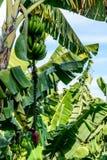 Bananes et horticulture de banane sur le bananier, Guatemala, Amérique Centrale photographie stock libre de droits
