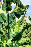 Bananes et horticulture de banane sur le bananier, Guatemala, Amérique Centrale image stock