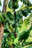 Bananes et horticulture de banane sur le bananier, Guatemala, Amérique Centrale photo libre de droits