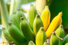 Bananes mûres Image libre de droits