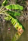 Bananes non mûres avec des fleurs et des réflexions de banane Photo libre de droits