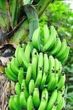 Bananes sur l'arbre image libre de droits