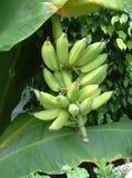 Bananes sur l'arbre Images libres de droits