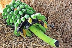 Bananes sur la paille Photos libres de droits