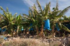 Bananes tropicales images libres de droits