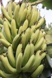 Bananes vertes s'élevant dans une forêt tropicale tropicale Photographie stock