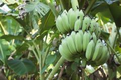 Bananes vertes s'élevant sur la paume de banane Photo libre de droits