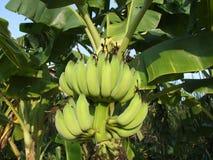 Bananes vertes sur l'arbre, Thaïlande. Photo stock
