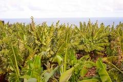 Bananeto Fotografie Stock Libere da Diritti