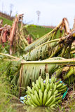 Bananeto distrutto da un ciclone Fotografia Stock Libera da Diritti