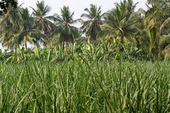 Bananeto nella città di Humpi, India, il Karnataka Produzione alimentare organica dell'azienda agricola Immagini Stock