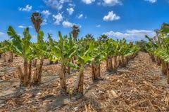 Bananeto organico sull'isola del Cipro Fotografia Stock