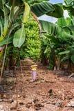 Bananeto sull'isola del Cipro Fotografia Stock Libera da Diritti