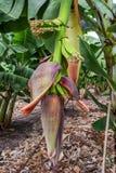 Bananeto sull'isola del Cipro Immagini Stock