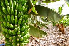 Bananeto Tenerife, isole Canarie Immagini Stock Libere da Diritti