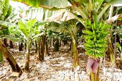 Bananeto Tenerife, isole Canarie Fotografie Stock Libere da Diritti