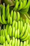 Bananeto Tenerife, isole Canarie Fotografia Stock
