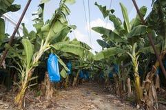 Bananfält Royaltyfria Bilder