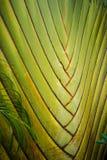 Bananfanträdet bor i Thailand Arkivfoto