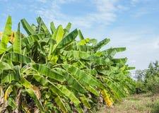 Bananfram Royaltyfria Bilder