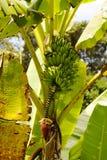 Bananfrukt på palmträdplantantion. Colombia arkivbilder