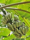 Bananfrukter Fotografering för Bildbyråer