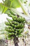 banangrupp arkivfoto