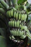 Banangrupp som hänger från trädet fotografering för bildbyråer