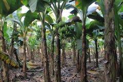 Banani Fotografia Stock Libera da Diritti
