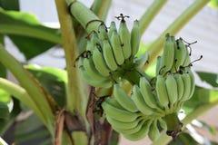 Bananier Image stock
