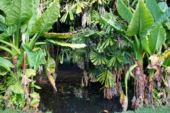 Bananier aquatique, lindleyanum Typhonodorum στο βοτανικό κήπο Pamplemousses Στοκ φωτογραφία με δικαίωμα ελεύθερης χρήσης