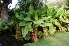Bananier aquatique, Typhonodorum-lindleyanum in de Botanische Tuin van Pamplemousses Royalty-vrije Stock Foto's