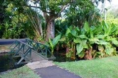 Bananier aquatique, Typhonodorum-lindleyanum in de Botanische Tuin van Pamplemousses Stock Afbeeldingen