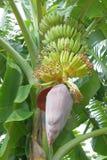 Bananier avec la fleur Photographie stock libre de droits