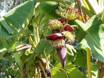 Bananier avec les bananes vertes photographie stock libre de droits