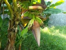 Bananier avec les fleurs de banane et la jeune banane Images stock