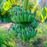 Bananier avec un élevage de groupe Banane non mûre Photo libre de droits
