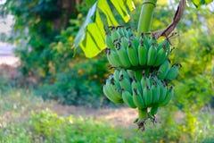 Bananier avec un élevage de groupe Banane non mûre Images stock