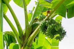 Bananier avec un groupe de bananes Image stock