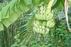 Bananier avec un groupe de bananes Photo stock