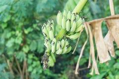 Bananier avec un groupe de bananes Photos stock